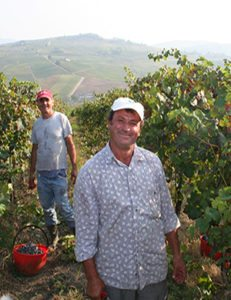 harvest italian wine grapes
